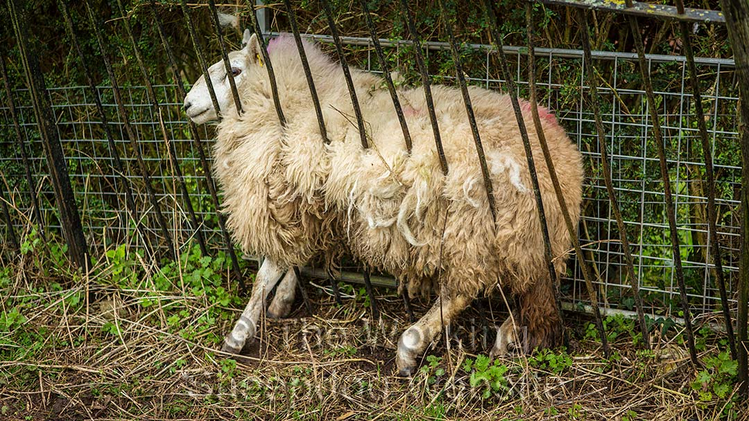 A Welsh Mule Sheep Trapped Between Fence And Hedge
