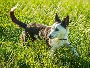 Sheep and cattle dog Madge