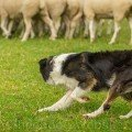 A sheepdog showing confidence while working sheep