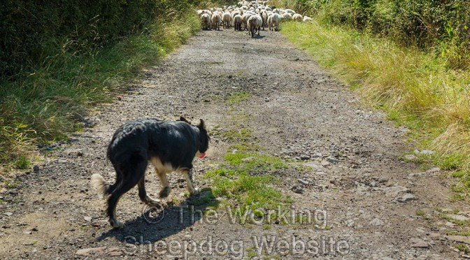 Trainee sheepdog Jody herding a flock of ewes and lambs down a farm track