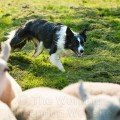 Fully trained sheepdog for sale - Davy