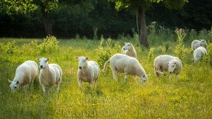 A lovely picture of sheep with the sun behind them on a summers day