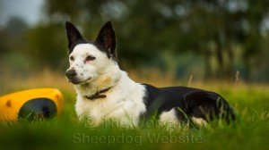 Collie x terrier Madge lying in the grass