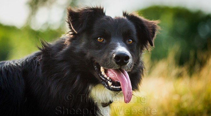 Close-up shot of Remus - a very handsome young sheepdog