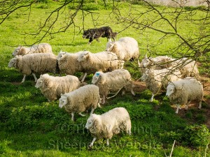 Young border collie bringing sheep down a sloping field