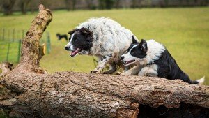 Two border collies jumping a log