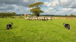 A small flock of sheep turns to face the sheepdogs