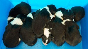 New litter of black and white border collie sheep dog puppies