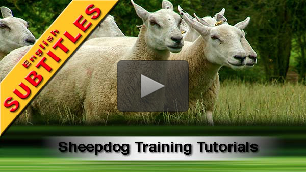 Sheep and cattle dog training lessons and tutorials