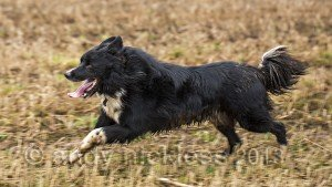 Powerful-looking male border collie