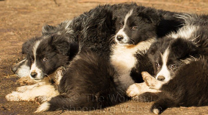 ISDS registered sheep dog or agility puppies for sale in Worcestershire