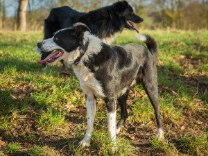 Two black and white border collies - one smooth coated and one rough coated