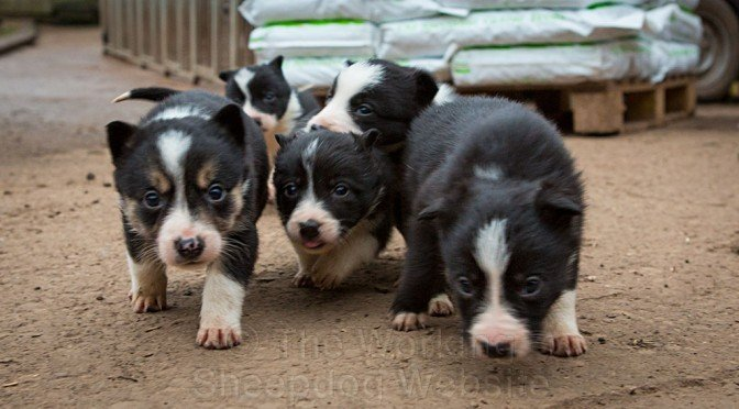 Smooth coated collie puppies for sale