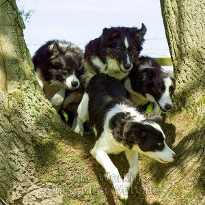 Four dogs jumping through a fork in the trunk of an oak tree