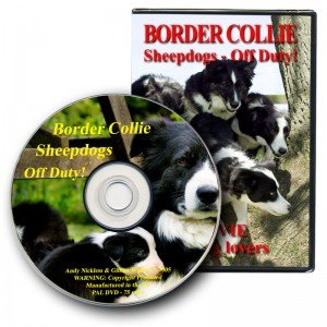 Border Collie Sheepdogs Off Duty