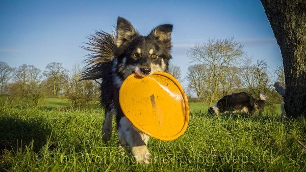 Tricolour border collies playing with  a Frisbee (dog disc)