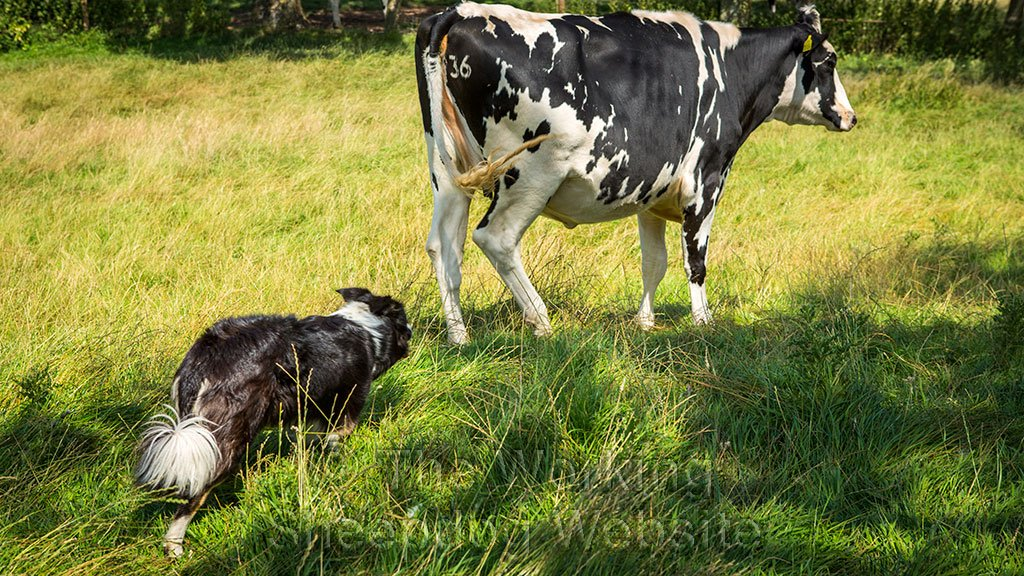 Training your dog with cattle or ducks